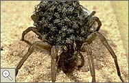 Wolf spider with spiderlings on its back.